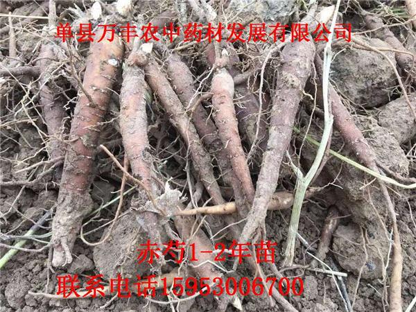 辽宁赤芍种子种植基地-辽宁赤芍种子多少钱