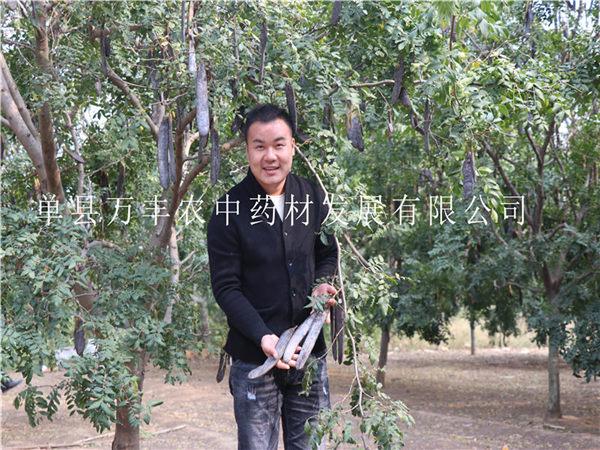 菏泽鲁皂一号皂角树优良品种嫁接苗