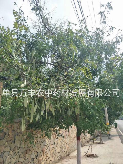 供应日照皂角树基地-青岛鲁皂一号皂角树产量高