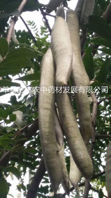 供应德州皂角树批发-东营鲁皂一号皂角树种植指导