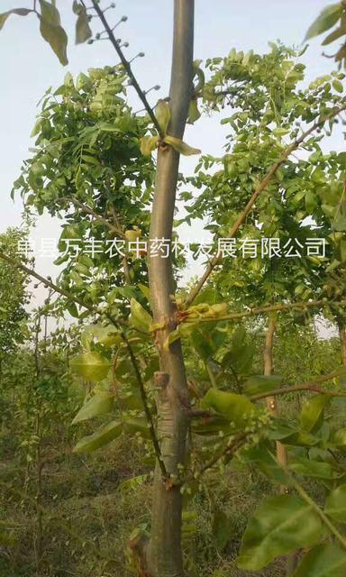 供应菏泽皂角树品种-济宁鲁皂一号皂角树产量高