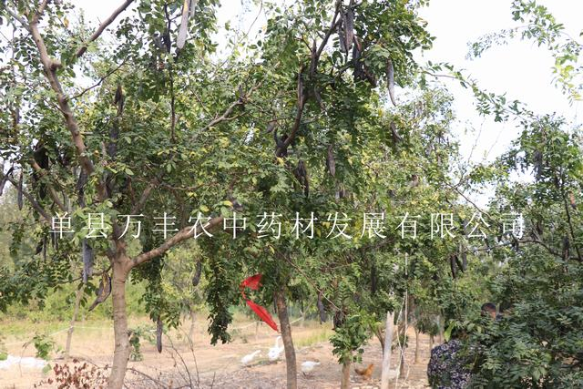 供应沧州皂角树批发-秦皇岛鲁皂一号皂角树种植基地