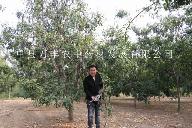 供应株州皂角树基地-益阳鲁皂一号皂角树产量高