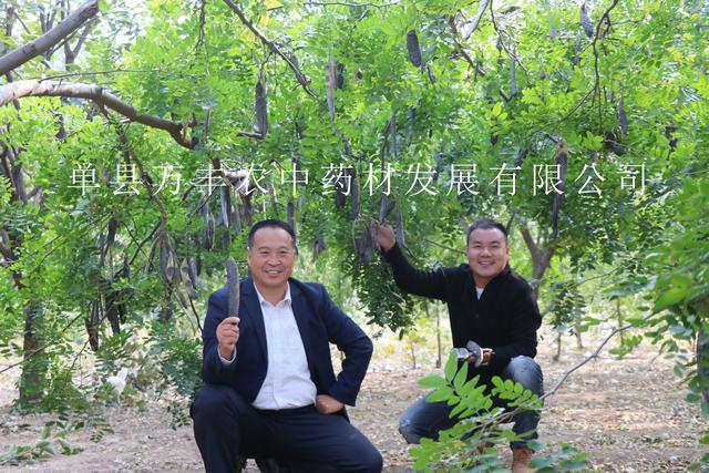 供应泰州皂角树批发-南通鲁皂一号皂角树种植基地