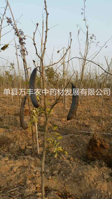 供应浙江皂角树报价-杭州鲁皂一号皂角树多少钱