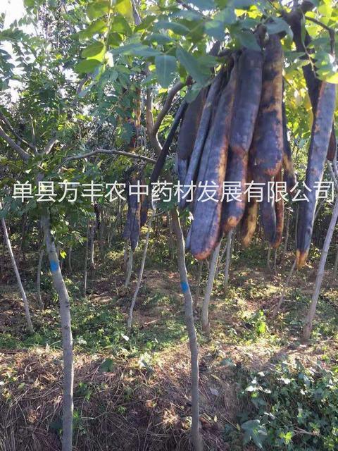 供应淮北皂角树基地-亳州鲁皂一号皂角树产量高