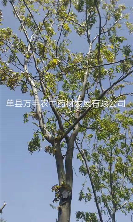 贵州毕节鲁皂一号皂角树嫁接%鲁皂一号良种嫁接苗