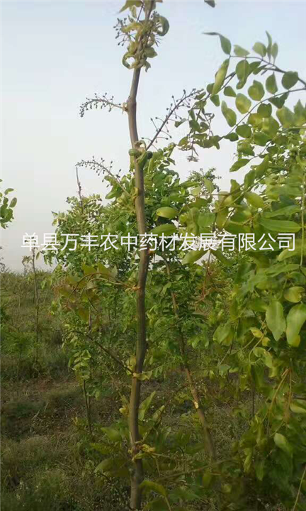 贵阳鲁皂一号皂角树嫁接%鲁皂一号良种嫁接苗