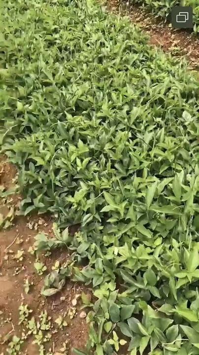 山东优质半夏种子圆叶小桃叶