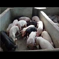 安徽二元猪;安徽二元猪苗价格;安徽二元猪仔猪批发