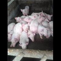 安徽长白猪;安徽长白猪苗价格;安徽长白猪仔猪批发