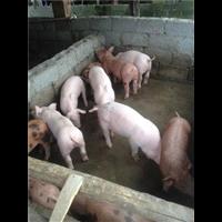 江西三杂猪;江西三杂猪苗价格;江西三杂猪仔猪批发