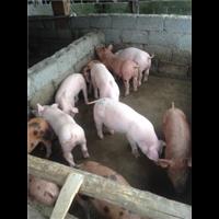 江西二元猪;江西二元猪苗价格;江西二元猪仔猪批发