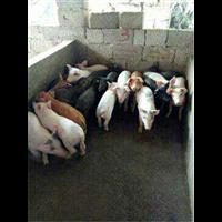 河南黑猪;河南黑猪苗价格;河南黑猪仔猪批发