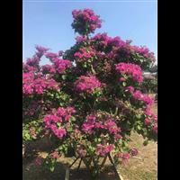 重庆三角梅――三角梅控水和促花方法