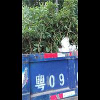 海南白糖罂荔枝苗