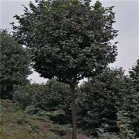 高分枝米径8至9公分冠副2至2点3米之间全精品