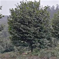冠副2点5米左右高3点5至4米之间地径11至12公分左右全精品
