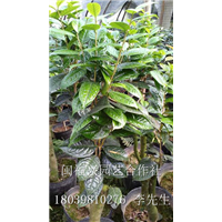 福建茶花/福建漳平黄尊金花茶-出售各种珍贵品种茶花种苗