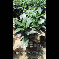 出售盆栽四季抱茎茶@福建茶花出售@福建永福四季抱茎茶种植基地