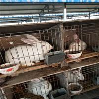 山东兔苗供应 兔苗供应商 兔苗养殖场
