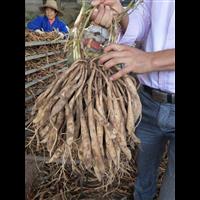 专业种植百部种苗湛江哪里有卖百部种苗