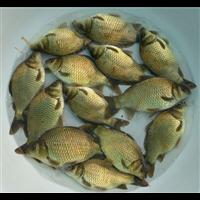 湖北鲫鱼苗|鲫鱼苗多少钱一斤