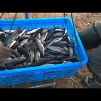 湖北青鱼苗|青鱼苗多少钱一斤
