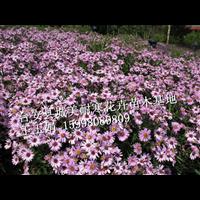 荷兰菊,辽宁荷兰菊,东北荷兰菊
