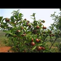 贵州油茶果多少钱一斤