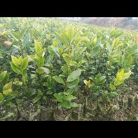 广东油茶苗