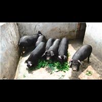 贵州黑猪批发