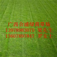 供应优质马尼拉草皮、广西马尼拉草皮