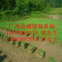 广西合浦绿茵草皮/北海马尼拉草皮/广西马尼拉草皮