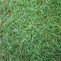 广西兰引三号草皮,广西合浦绿茵草皮