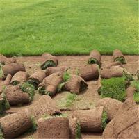 北海马尼拉草皮基地,北海马尼拉草皮价格