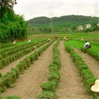 广西马尼拉草皮,北海马尼拉草皮