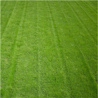 广西合浦绿茵草皮,北海马尼拉草皮