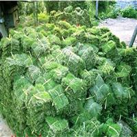 北海马尼拉草,广西合浦马尼拉草皮