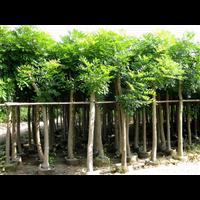 贵州出售澳洲火焰木价格低
