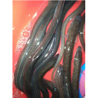 鳗鱼苗――――广东鳗鱼苗、广西鳗鱼苗