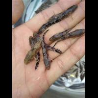 广东鱼苗――――广西鱼苗
