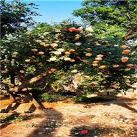 古桩月季树桩月季