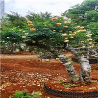 古桩月季树桩月季1