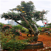 古桩月季树桩月季2