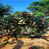 古桩月季树桩月季5