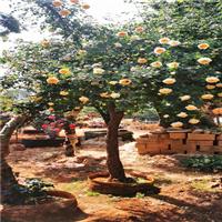 古桩月季树桩月季8