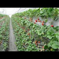泽阳草莓种植槽
