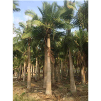 河南國王椰子,河南國王椰子優園林風景樹