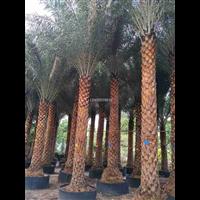 上海銀海棗,上海銀海棗多規格成品行道樹